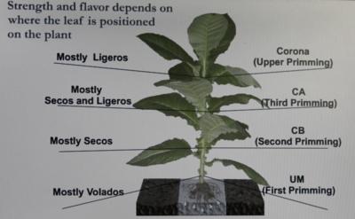Tabakpflanze Kaufen Baumarkt : tabak anbauen die wichtigsten infos ~ Yuntae.com Dekorationen Ideen